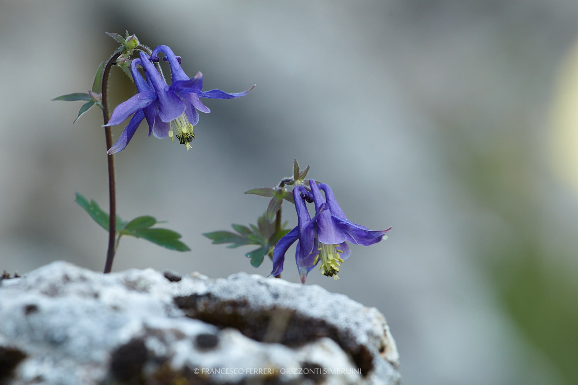 Aquilegia vulgaris - ph Francesco Ferreri